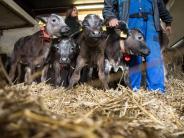Allgäu: Diese Kälbchen sollten geschlachtet werden - dann geschah ein Wunder