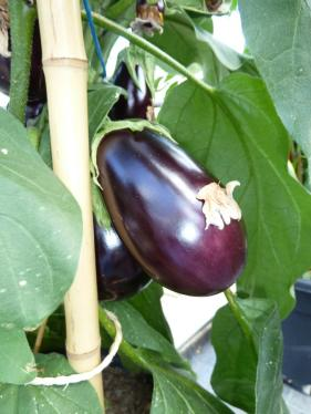 ern hrung schlanke frucht auberginen enthalten kaum kalorien geld leben augsburger. Black Bedroom Furniture Sets. Home Design Ideas
