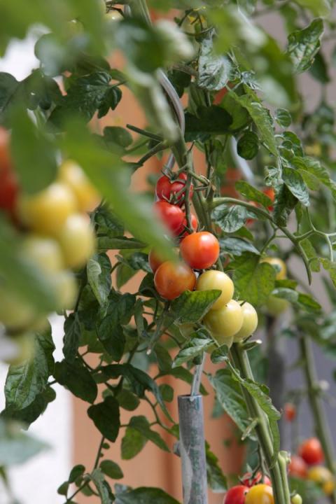 tipps f r tomatenz chter warum tomaten aufplatzen oder. Black Bedroom Furniture Sets. Home Design Ideas