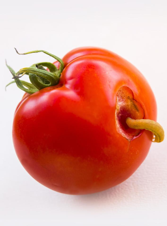waffen der pflanzen gar nicht harmlos tomaten machen. Black Bedroom Furniture Sets. Home Design Ideas