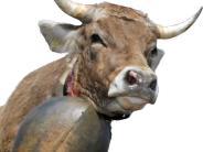 Gemeinderat Balzhausen: Streit um Rinderauslauf wird wohl ein Fall fürs Gericht