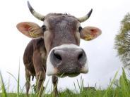 Oberrieden: Bloß kein Stress im Kuhstall
