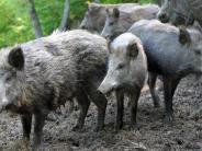Landkreis: Was Wildschweine im Acker anrichten