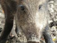 Großeinsatz der Polizei: Unfälle wegen einer Wildschweinrotteauf der A96