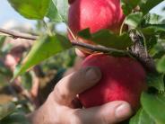 Kötz: Diebe plündern Obstplantage
