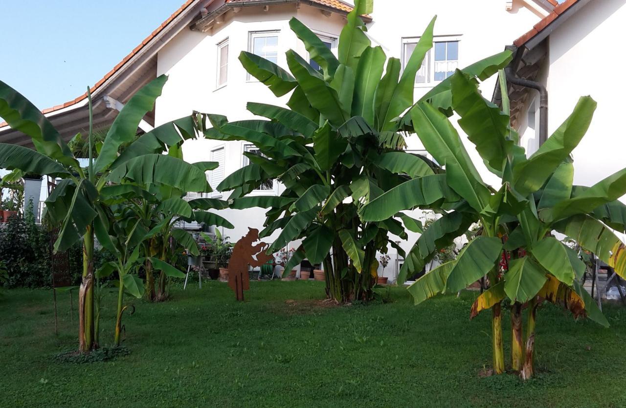 krumbach wie bananen in schw bischem garten den winter berleben nachrichten krumbach. Black Bedroom Furniture Sets. Home Design Ideas