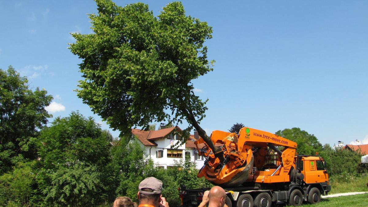 Baum Umpflanzen bume umpflanzen richtiges umpflanzen garantiert reiche ernte