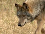 Windach: Der für den Wolf spricht