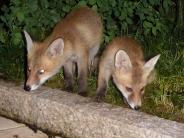 Natur: Im Fuchstal leben die Füchse mitten im Dorf