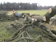 Finning: So fallen die alten 15 Eschen bei Schondorf