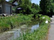 Kaufering: Fische verenden im Mühlbach