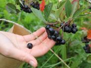 Region Landsberg: Kleine, blaue Beeren mit Superkräften
