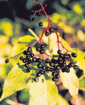 Kreisverband f r gartenbau der holunder steht im fokus - Gartenbau augsburg ...