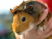 Tiere: Kletter-Rampe für Meerschweinchen bauen