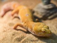 Tiere: Geckos brauchen verschiedene Klimazonen