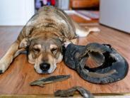 Tiere: Gefundenes Fressen: Welche Dinge dem Hundemagen schaden