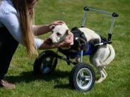 Tiere: Kurioses aus dem 3D-Drucker:Rollstuhl für behinderte Hündin