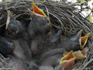 Tiere: Warum Vogelküken nicht immer gerettet werden müssen