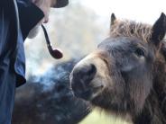Alte Rasse: Zutraulich und zäh:Exmoor-Ponys gehören zu den Wildpferden