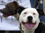 Kampfhunde: Wo Kampfhunde in der Region Augsburg leben