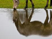 Seltenes Virus: Tödliche Hirnentzündungen: Bornaviren töten Pferde in Österreich