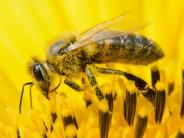 Neonicotinoid: Insektizide gefährden Bienenpopulation
