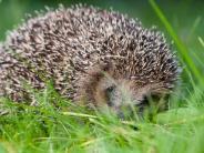Tierschutz: Aufnahme in Rote Liste: Bayerns Igel brauchen Hilfe
