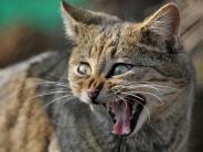 Bayern: Wildkatzen fühlen sich in Bayern immer wohler