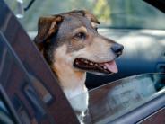 Geruchsstopper helfen nur kurz: So beugen Tierhalter Mief im Auto vor