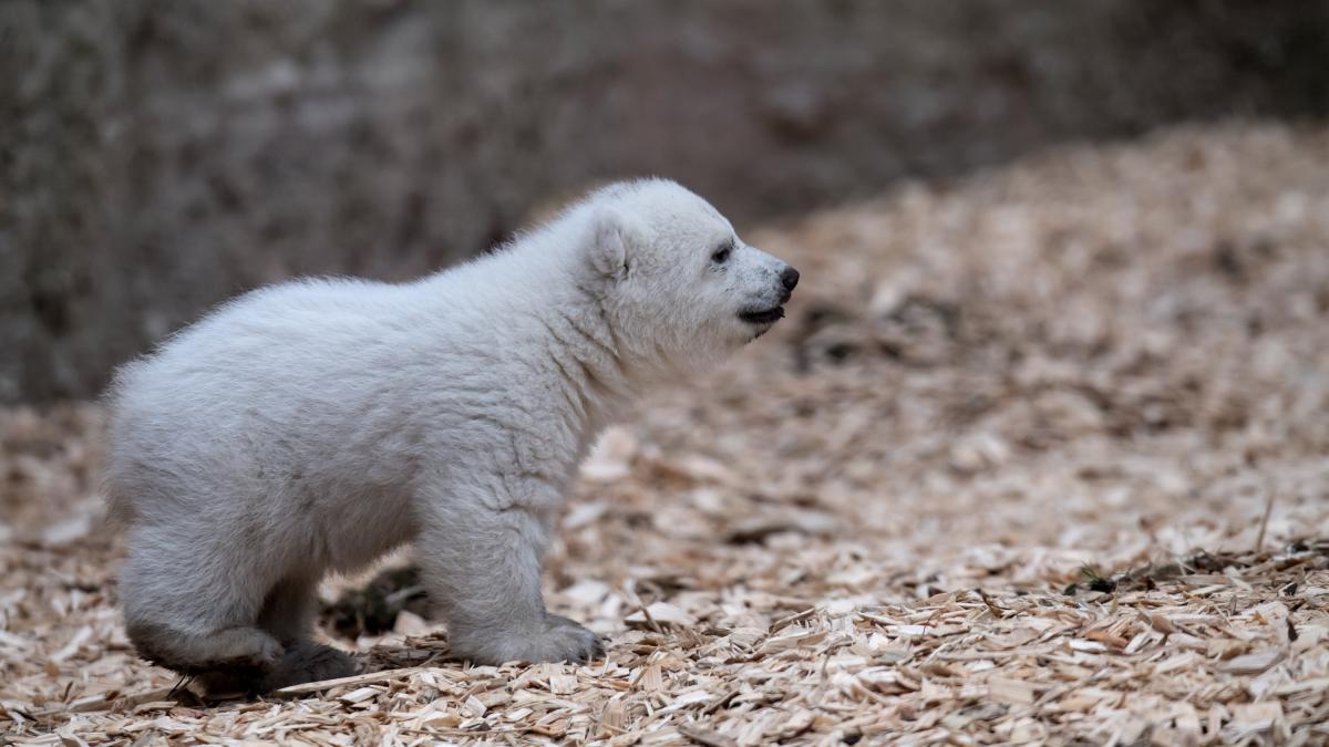 Tierpark-Hellabrunn-Aus-Q-wird-Quintana-Das-M-nchner-Eisb-rbaby-hat-einen-Namen