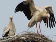 Natur: Storchenpaar fliegt auf Rammingen