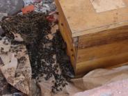 Natur: Rettung in letzter Minute für ein Bienenvolk