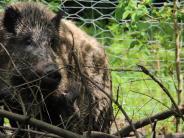 """Wildschwein verschwunden: Was geschah mit """"Lady D""""?"""