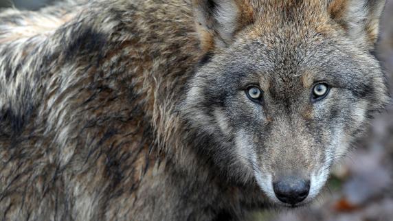 Oberpfalz: Wolf wird auf A93 überfahren und getötet
