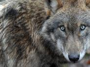 Wölfe: Warum der Wolf in Bayern bislang nur ein Einzelgänger ist