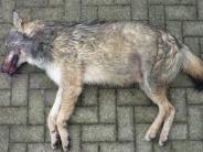Region Ulm: Toter Wolf auf der A8: Jetzt ist klar, woher er kam