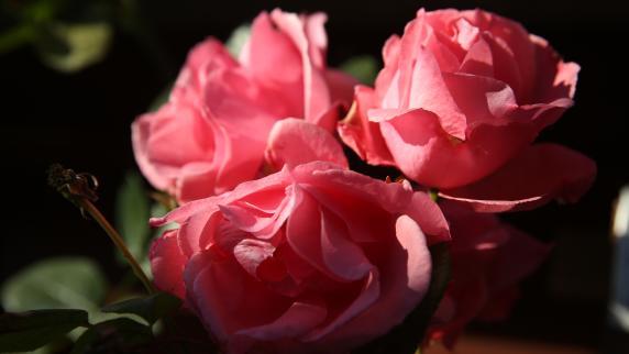 ulm ulm im zeichen der rose nachrichten neu ulm. Black Bedroom Furniture Sets. Home Design Ideas