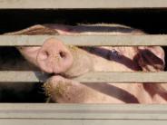 Medienberichte: Augsburger Schlachthof sollen gegen Tierschutzgesetz verstoßen haben