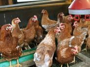 Kreis Neu-Ulm: Vogelgrippe: Manche Halter lassen Tiere trotz Verbots ins Freie