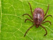 FSME-Infektionen: Zecken und Co.: Angriff der Mikro-Monster