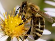 Landkreis Neu-Ulm: Rettet das Wundermittel die Bienen?