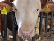 In Rennertshofen:: Bulle verletzt Landwirt schwer