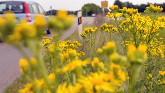 Neuburg: Giftiges Kreuzkraut ist Gefahr für Mensch und Tier