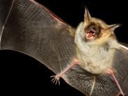 Neuburg: Mit der Taschenlampe auf Fledermausjagd