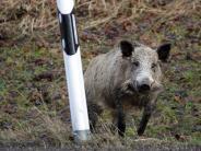 Unterallgäu: Wildschweinrotte verursacht mehrere Unfälle auf der A96