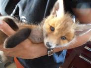 Karlskron-Mändlfeld: Unbekannte schießen mit Luftgewehr auf Fuchsbaby