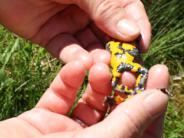 Neuburg-Schrobenhausen: Hilfe für die Gelbbauchunke