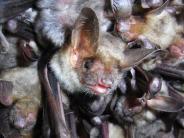 Natur: Das Große Mausohr liebt es dunkel