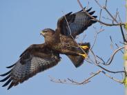 Tiere: Gefahr für Greifvögel im Ries