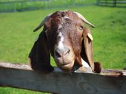 Tierische Verfolgungsjagd: Ziege büxt nahe Nördlingen aus
